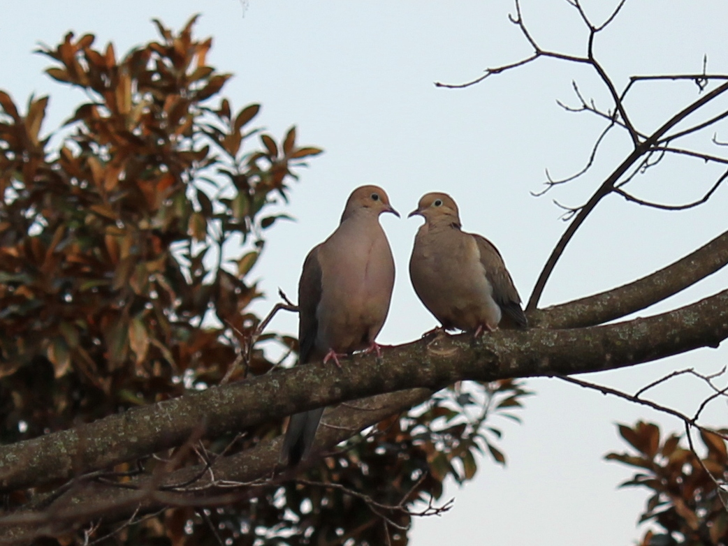 Mourning doves on a maple tree in Abingdon, Virginia, late March 2014