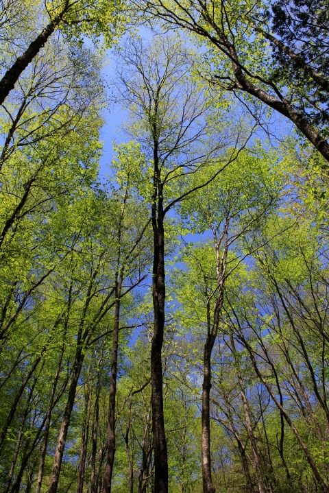 Appalachian Hardwoods Leaf Out, May 11, 2014